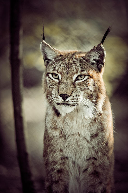 Luchs XII by Schoelli