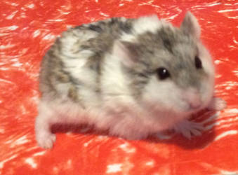 Da Vince,the hamster by Miss-Dog-Lover