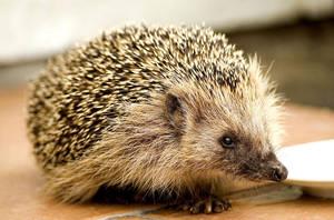 Hedgehog by Sione