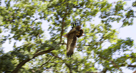 Flying Eagle by TheOrigin79