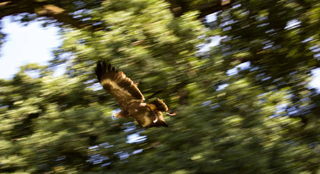 Flying Eagle #2 by TheOrigin79