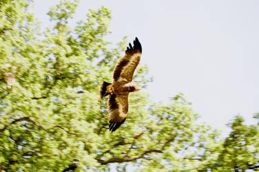 Flying Eagle #3 by TheOrigin79