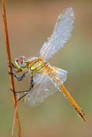 red veined darter - full view by MartinAmm