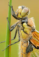four-spotted chaser by MartinAmm