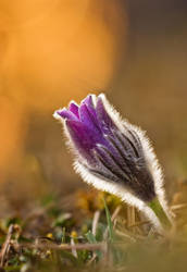 common pasque flower by MartinAmm