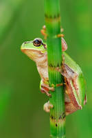 tree frog by MartinAmm