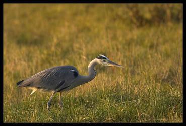 hunting heron by MartinAmm