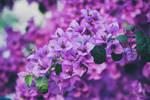 051 - Purple by CarlaSophia