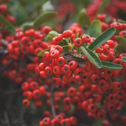 Berries by CarlaSophia