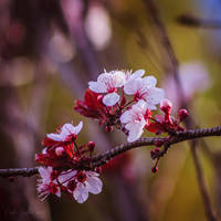 052 - Blossom by CarlaSophia