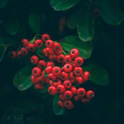 Berries I by CarlaSophia