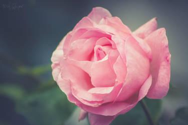 -Rose- by CarlaSophia