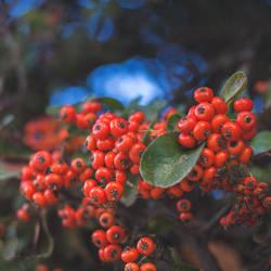 144 - Berries by CarlaSophia