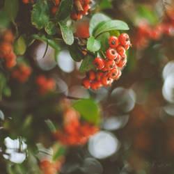 145 - Berries by CarlaSophia