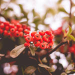146 - Berries by CarlaSophia