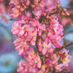Pink I by CarlaSophia