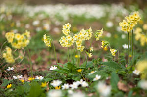 Cowslips in the Wood by enaruna