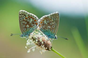 Gossamer-winged Butterflies by enaruna