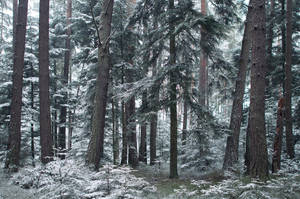Trees in the Forest powdered with Snow by enaruna