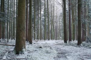 Snowy Forest by enaruna