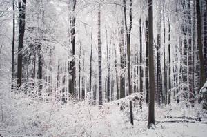 Winter Forest by enaruna