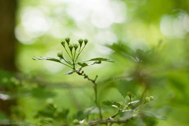 Hawthorn Buds by enaruna