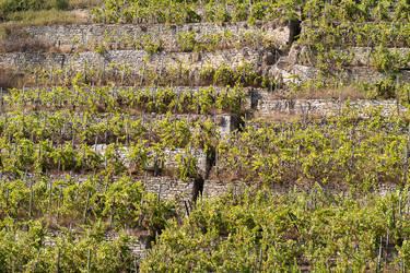 Vineyard with Stairway by enaruna