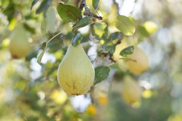 Ripe Pears by enaruna