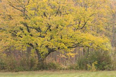 Oak Tree in the Autumn by enaruna