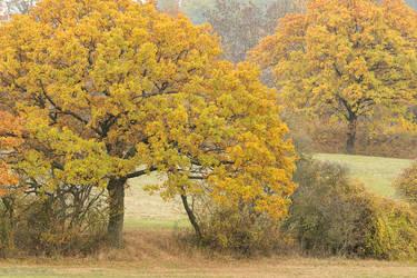 Oak Trees in the Autumn by enaruna