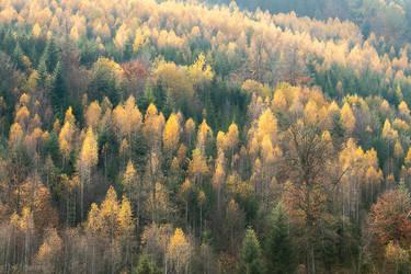 Birch Trees in the Autumn by enaruna