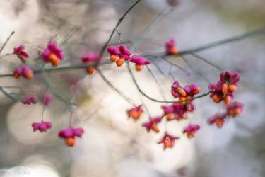 Spindle Tree by enaruna