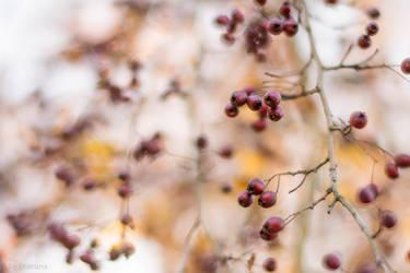 Whitethorn Berries by enaruna