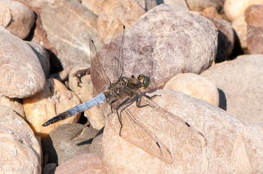 Black-tailed Skimmer by enaruna