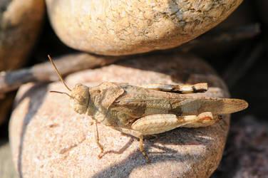 Grasshopper by enaruna