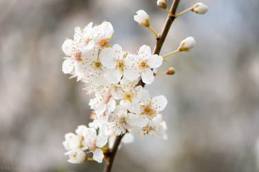 Wild Plum Blossoms by enaruna