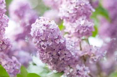 Lilac Blossoms by enaruna