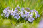 Violet Blossoms by enaruna
