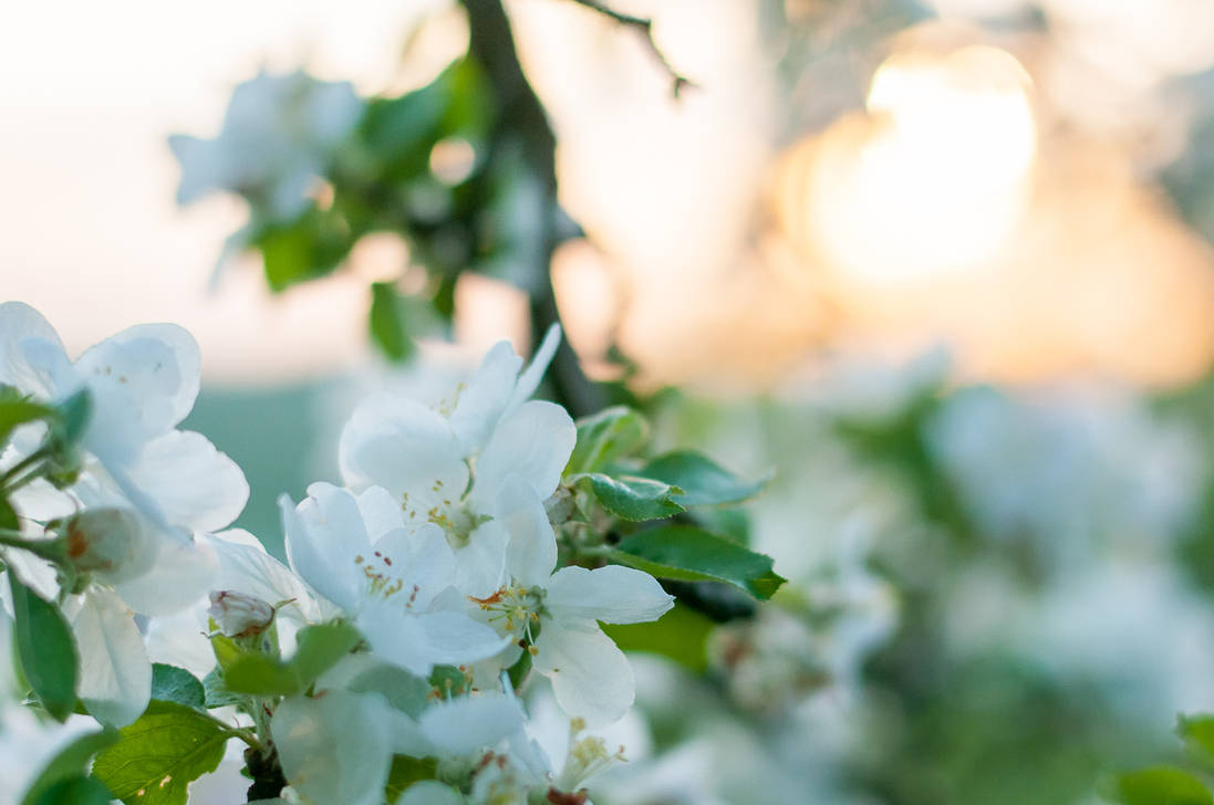 Apple Blossoms in the Sunset by enaruna
