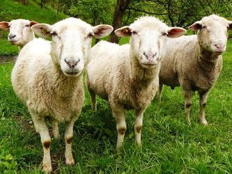 sheeps by Ladan-cz