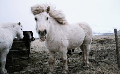 Iceland pony by Ladan-cz