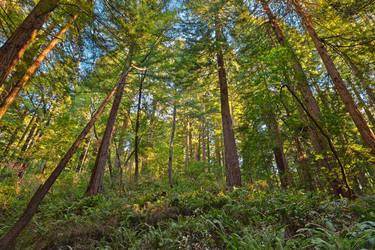 Muir Woods by somadjinn