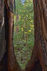 Window to Muir Woods by somadjinn