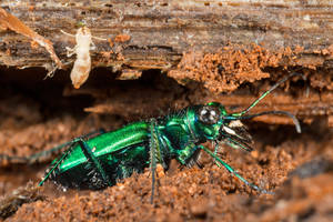 Six-Spotted Tiger Beetle (freebie) by somadjinn