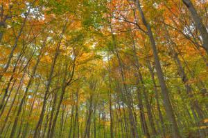 Fall Forest Foliage by somadjinn