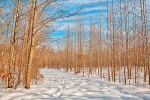 Bare Winter Tree Trail (freebie) by somadjinn
