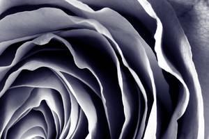Purple Rose Macro by somadjinn