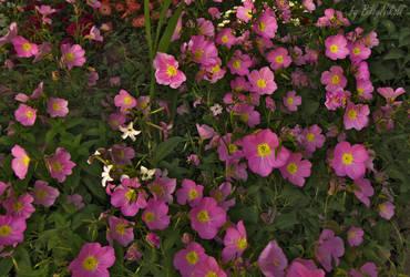 Pink evening primrose II by BillyNikoll