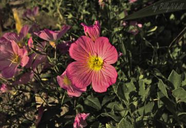 Pink evening primrose I by BillyNikoll