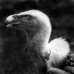 ...vulture... by roblfc1892